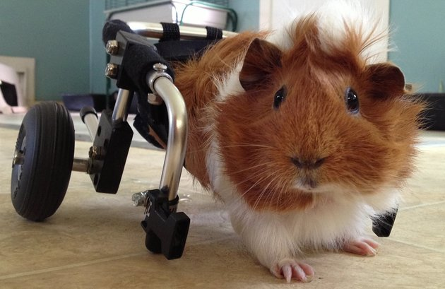 10 Handicapped Pets That Will Wheel Their Way Straight