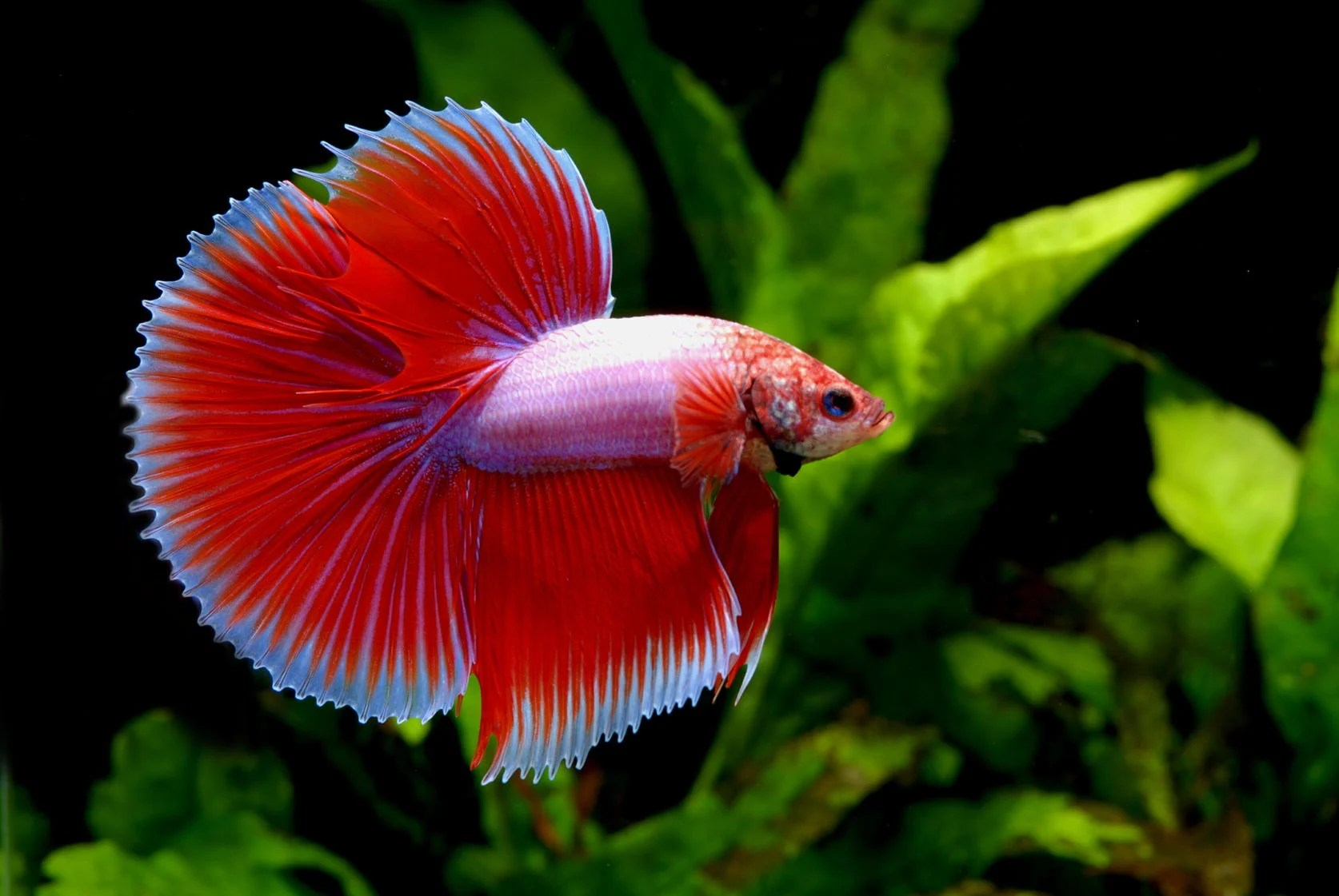 Aquatic Plants Betta