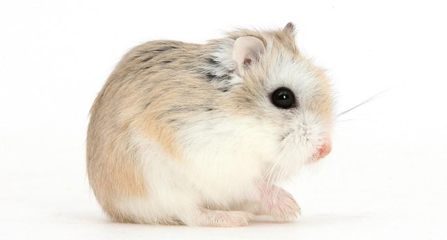 roborovski hamsters everything you