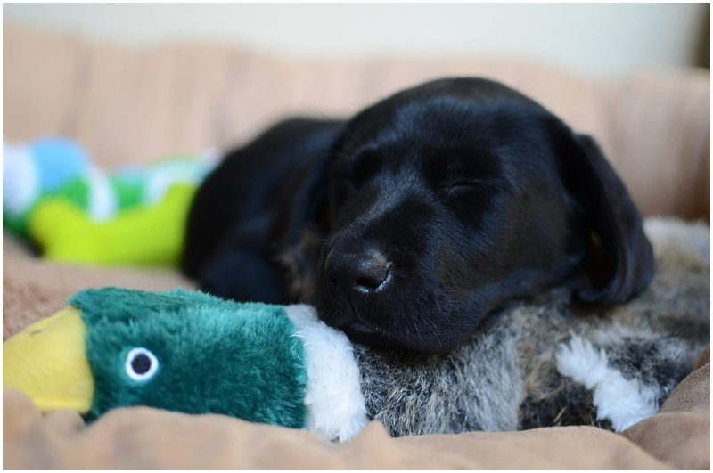 11 Hunting Lab Puppies Practicing With Their Ducky Toys