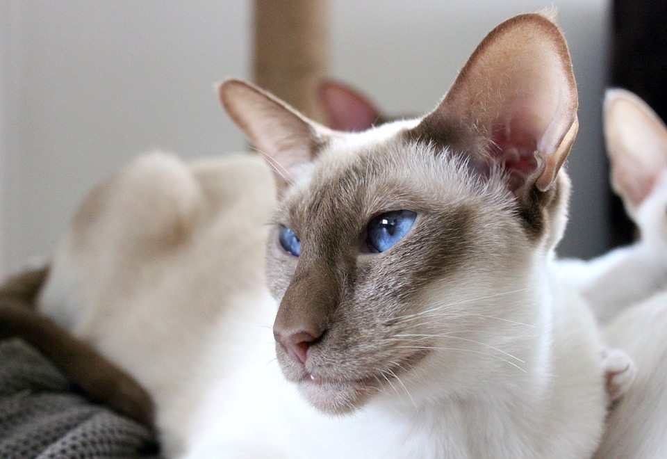 Siamese Cat Coloration What You Need To Know