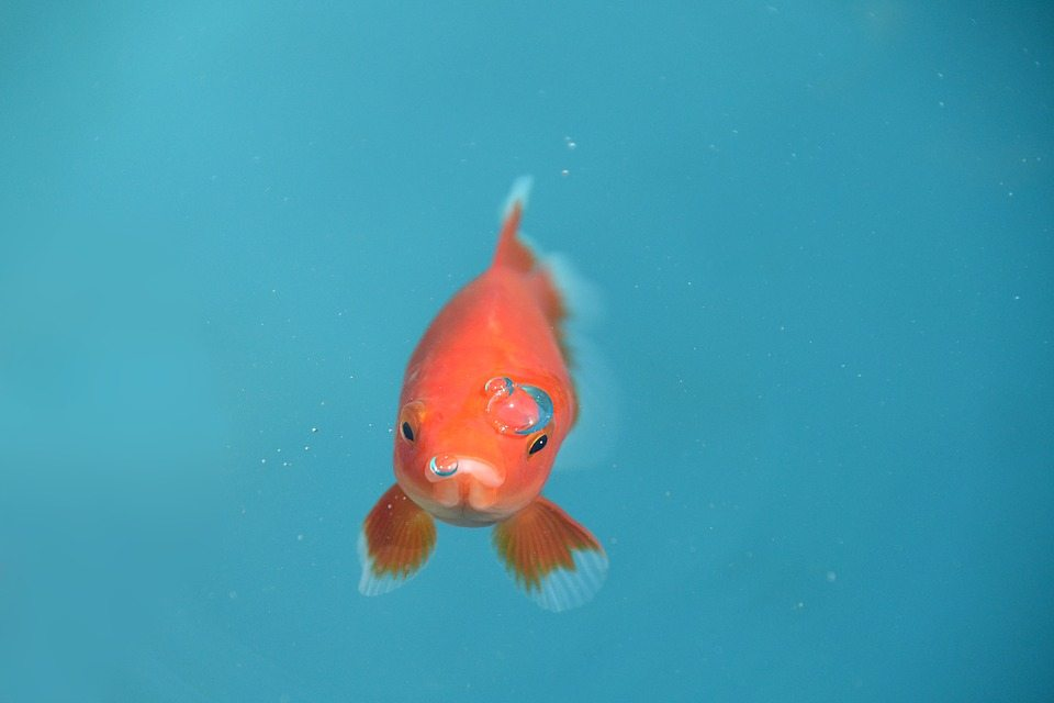 swim bladder disease in