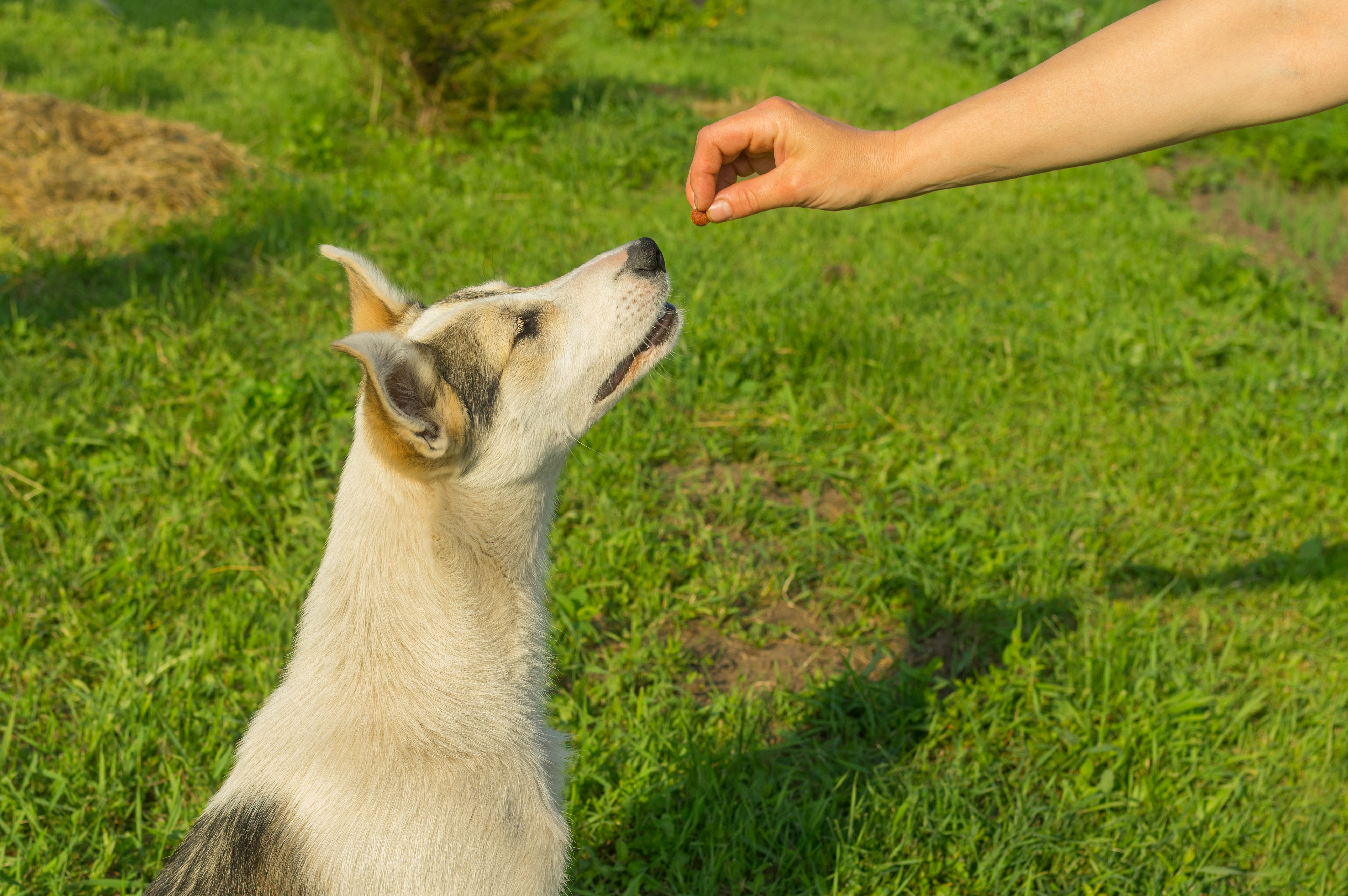 Master feeding young dog while training simple commands