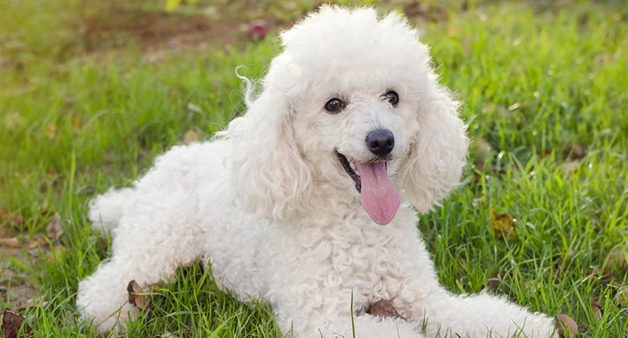 Poodles Everything You Need To Know About The Breed
