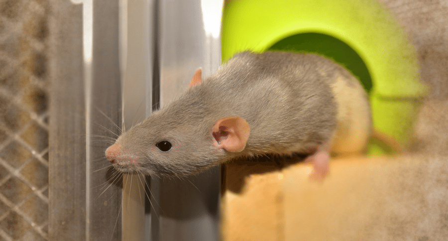 Virus Spreads from Pet Rats to Humans for the First Time in the U.S.