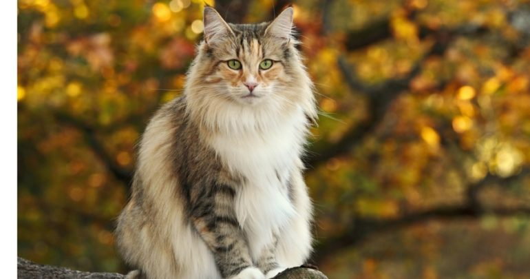 norwegian forest cat everything