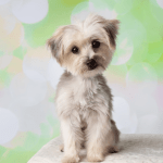Maltipoos A Family Friendly Dog Breed You Ll Love To Snuggle