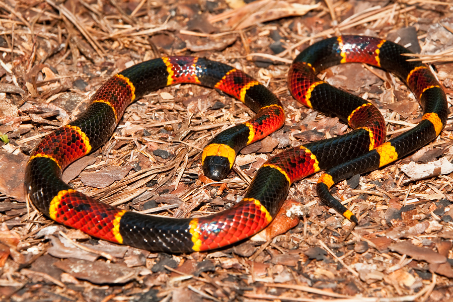 Image result for red black and yellow snake male