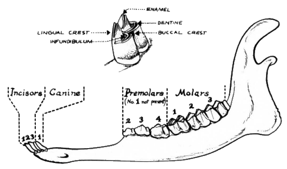 coyote teeth diagram how to wire a honeywell thermostat it's in the teeth: tell age of deer [pics]