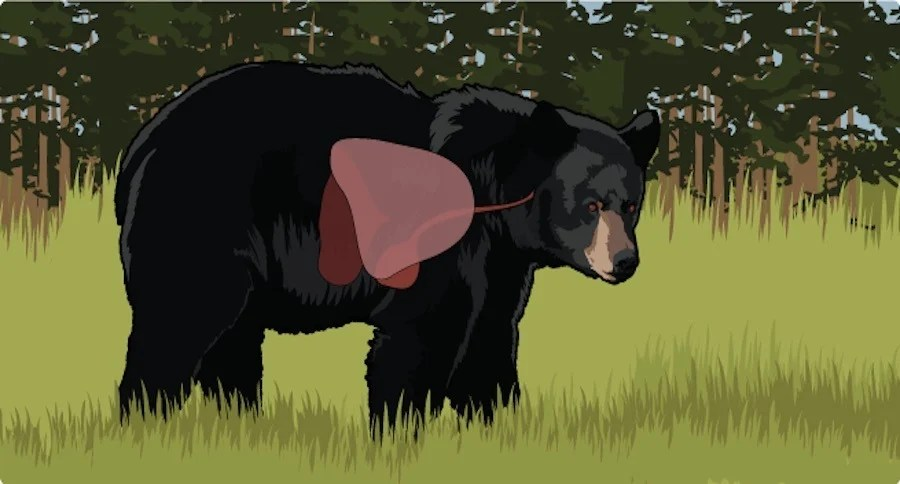 black bear diagram 2 switch wiring learn the proper shot placement on a by its internal anatomy video