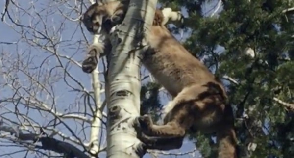 A mountain lion hunt with hounds is not for the weak or the faint of heart