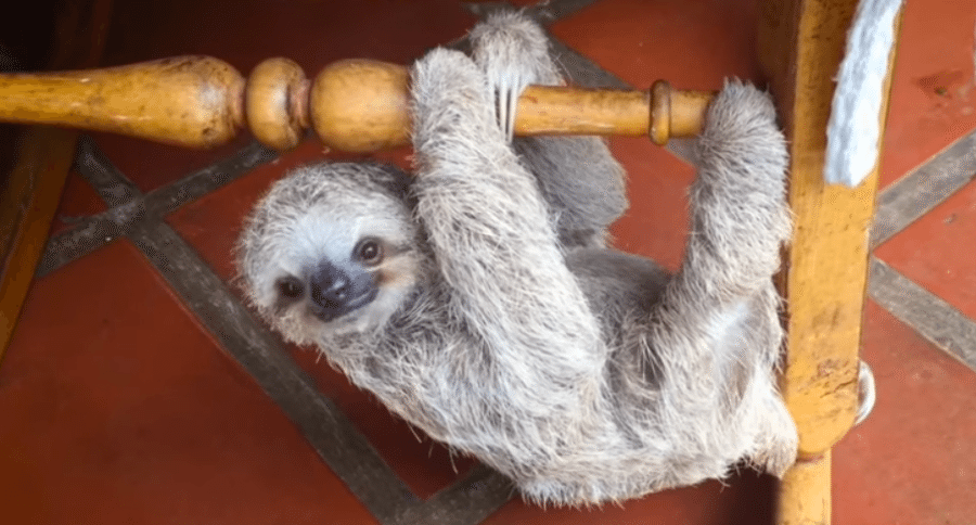 Adorable Baby Sloths Learn to Climb Using Rocking Chairs