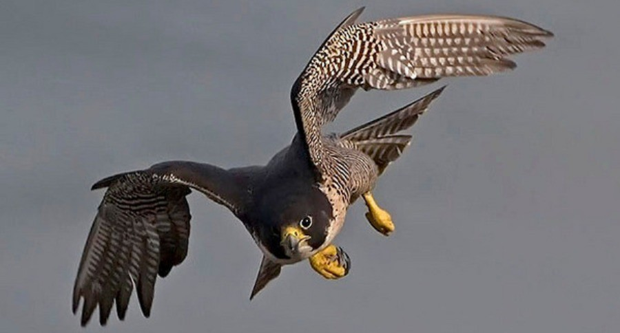 Peregrine Falcon Recovery In Alaska Is 40 Years In The Making