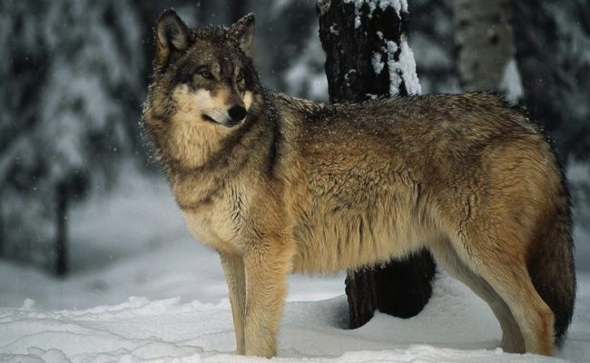 Radioactive Gray Wolf Escaped Chernobyl S Exclusion Zone
