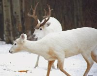 15 Really Cool Piebald and Albino Deer for #WhitetailWednesday