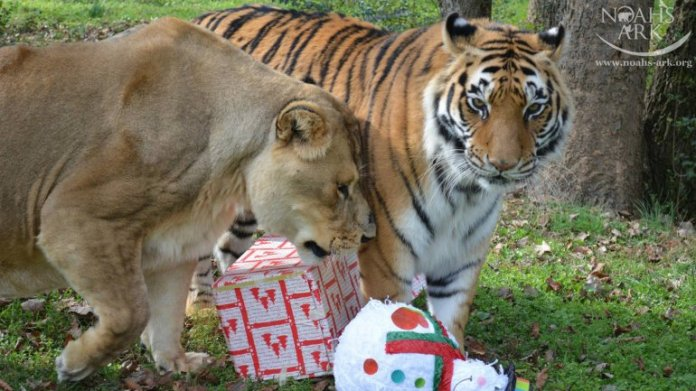 La amistosa relación entre el tigre y el león