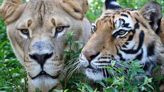 Shere Khan, el tigre de Bengala, es de los tres el más travieso