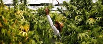 Legal Marijuana Taxes Rake In More Than Half A Billion For Colorado