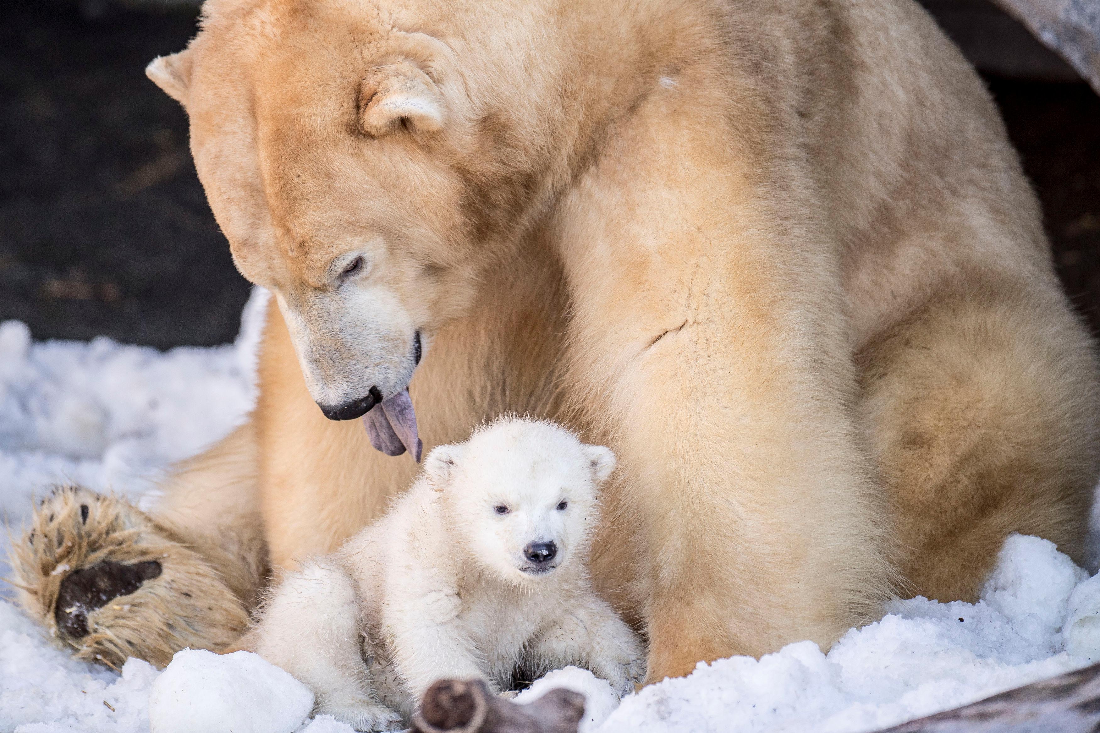 Polar Bears May Have Quadrupled In Number Despite Melting