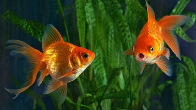9 Jenis Ikan Mas Koki Terbaik yang Mudah Dirawat Beserta Harganya - Hot  Liputan6.com