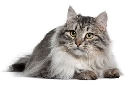 Image result for siberian cat