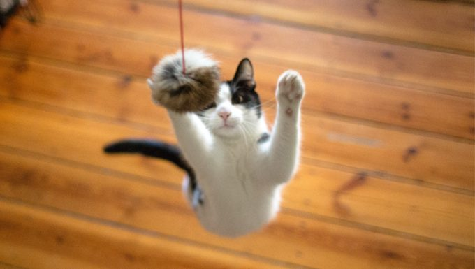 cat jumping for toy
