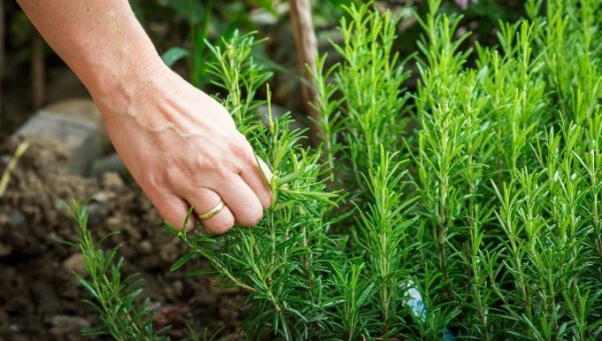 female hand picking rosemary plant for cooking