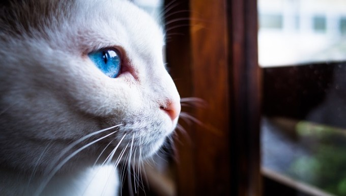 This photo was taken at a cat cafe in Kyoto. The profile of a white cat with blue eyes.