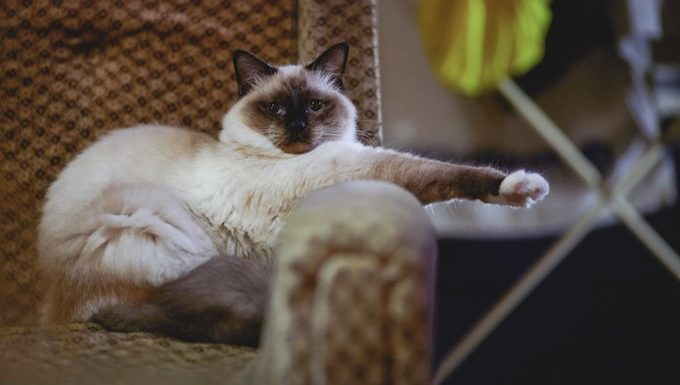 siamese cat sits on chair