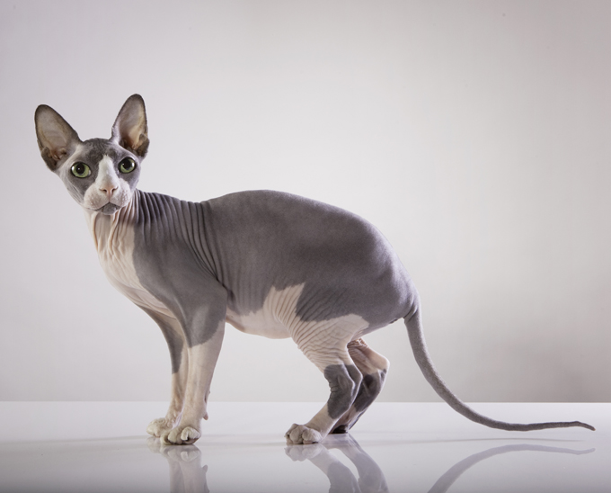 Image result for sphynx cat