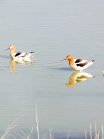 Avocet Floating