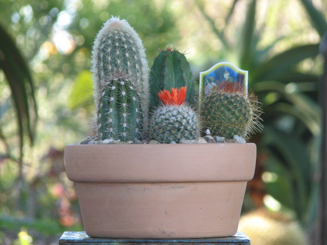 Mini Cactus Plants Bulk