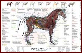 Cardiovascular Disease Diagram Equine Anatomy Vital Signs Poster Clinical Charts And