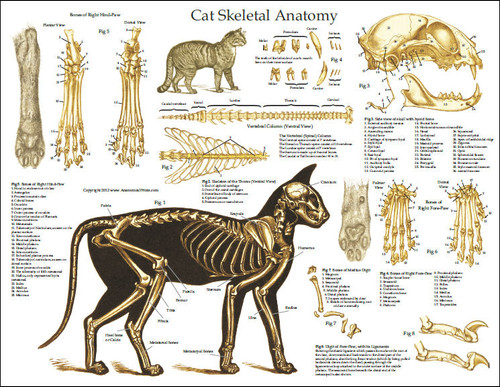 dog skeleton diagram labeled molecular orbital for o2 2 cat anatomy poster - clinical charts and supplies