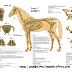 Cat Skeleton Diagram Labeled Western Snow Plow Solenoid Wiring Horse Skeletal System Poster - Clinical Charts And Supplies