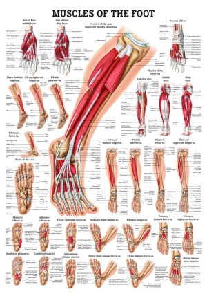 Human Muscles of the Foot Poster  Clinical Charts and Supplies