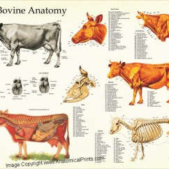Skeletal Muscle Labeled Diagram Print 2006 F150 Headlight Switch Wiring Of A Cow Great Installation Anatomy Poster Clinical Charts And Supplies Body Muscles