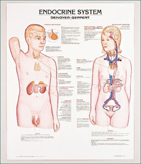 Endocrine system anatomy poster also clinical charts and supplies rh clinicalcharts