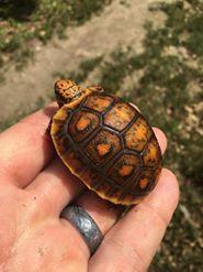 fancy red foot tortoise