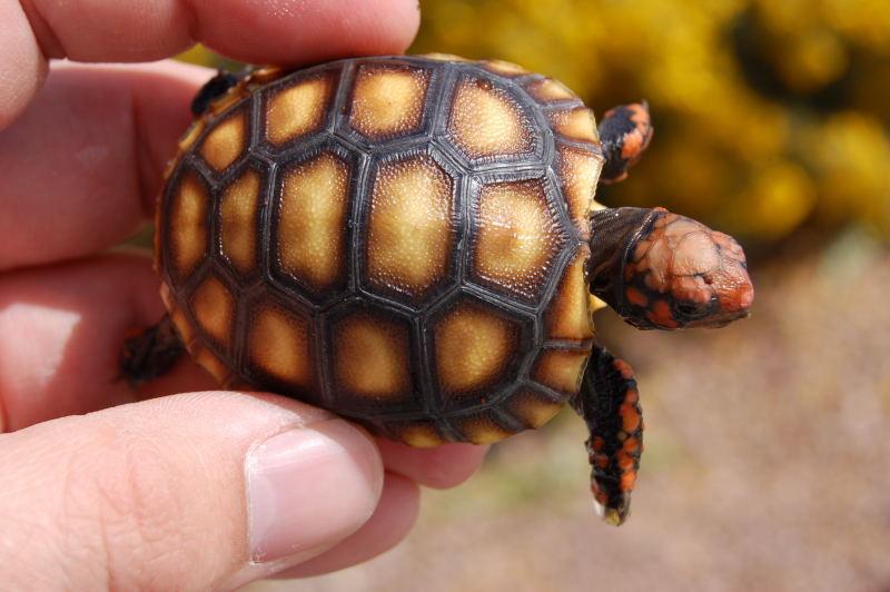 baby cherryhead tortoise