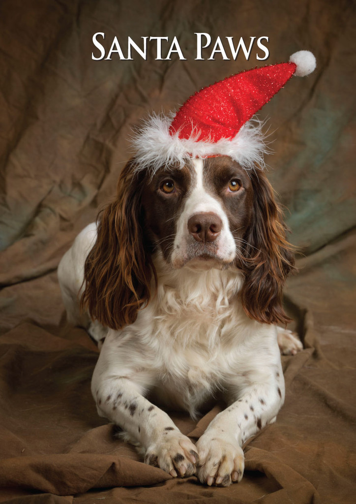 Springer Spaniel Santa Paws Christmas Card CSP From