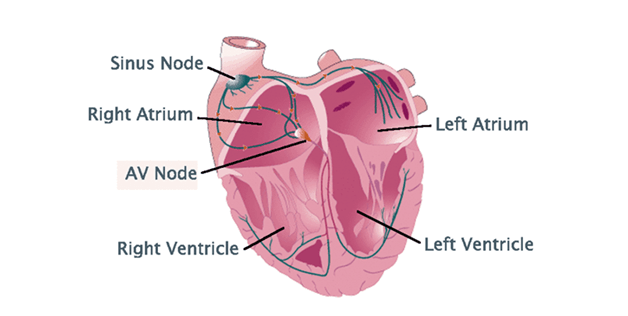 realistic heart diagram of a rose plant human structure functions and facts about the
