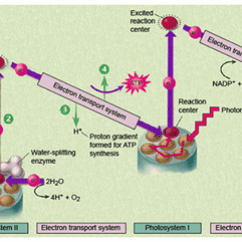 Light Reactions Photosystem Diagram 91 240sx Radio Wiring Dependent Mechanism And Process Of