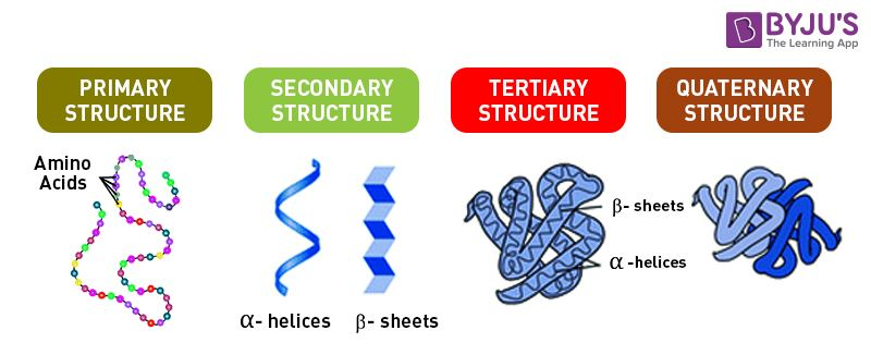 Proteins An Overview of its Structure Functions and Synthesis