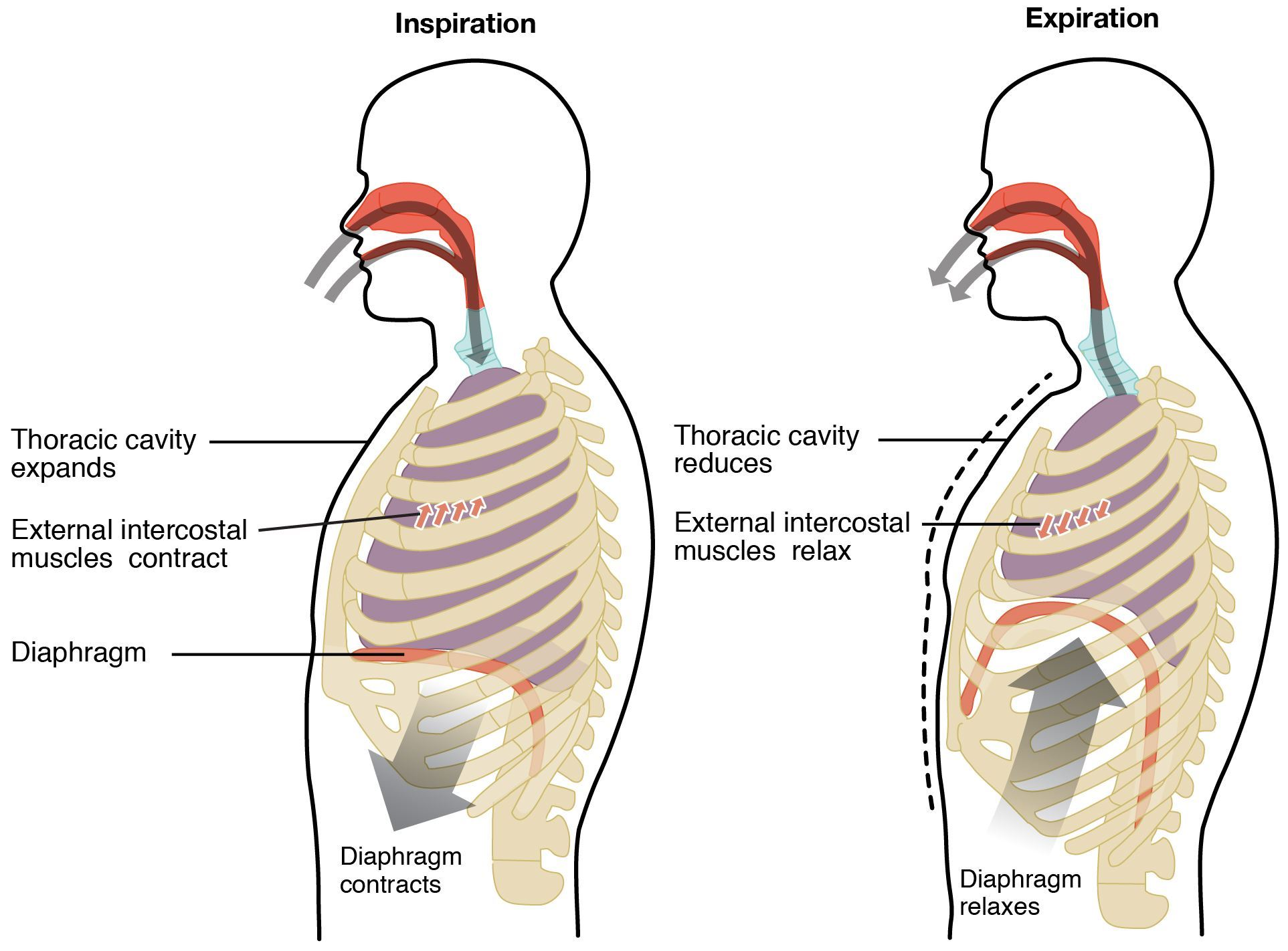 hight resolution of mechanism of breathing