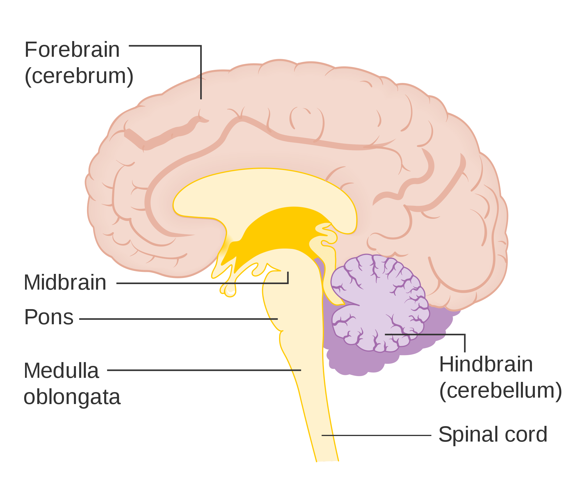 brain diagram pons wiring for light sensor human structure and functions of three main parts