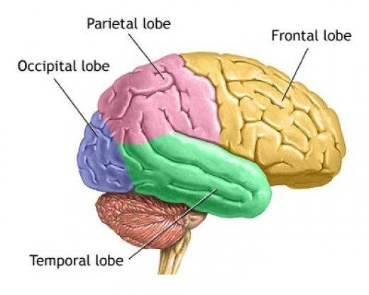 internal brain diagram context level 0 human structure and functions of the cerebrum is cortex it consists neurons cells which are grey in color hence also referred as matter part