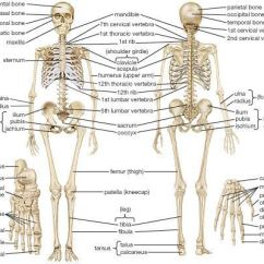 Human Skeleton And Muscles Diagram Guitar Wiring Skeletal System Parts Locomotion