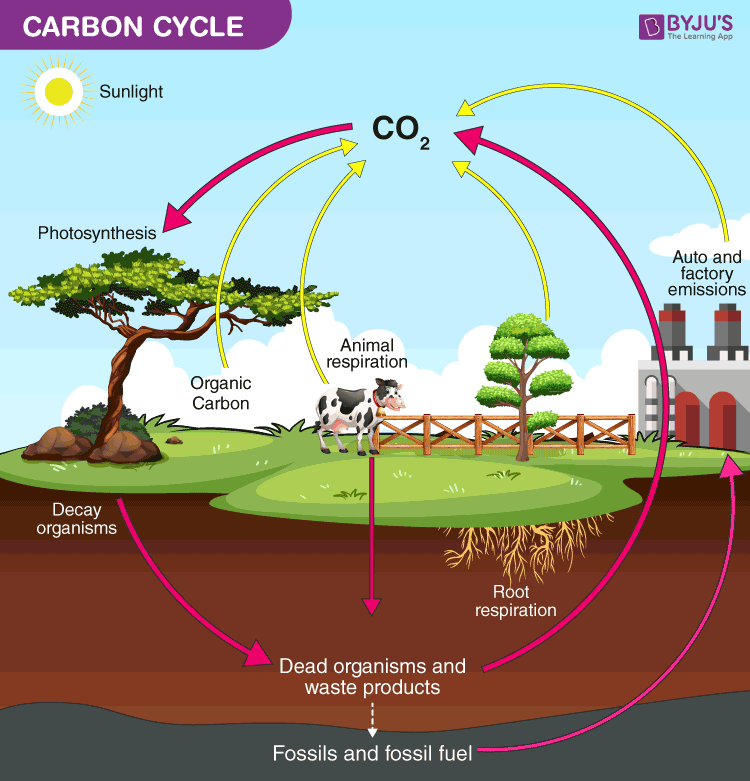 Carbon Cycle - Definition, Process, Diagram Of Carbon Cycle
