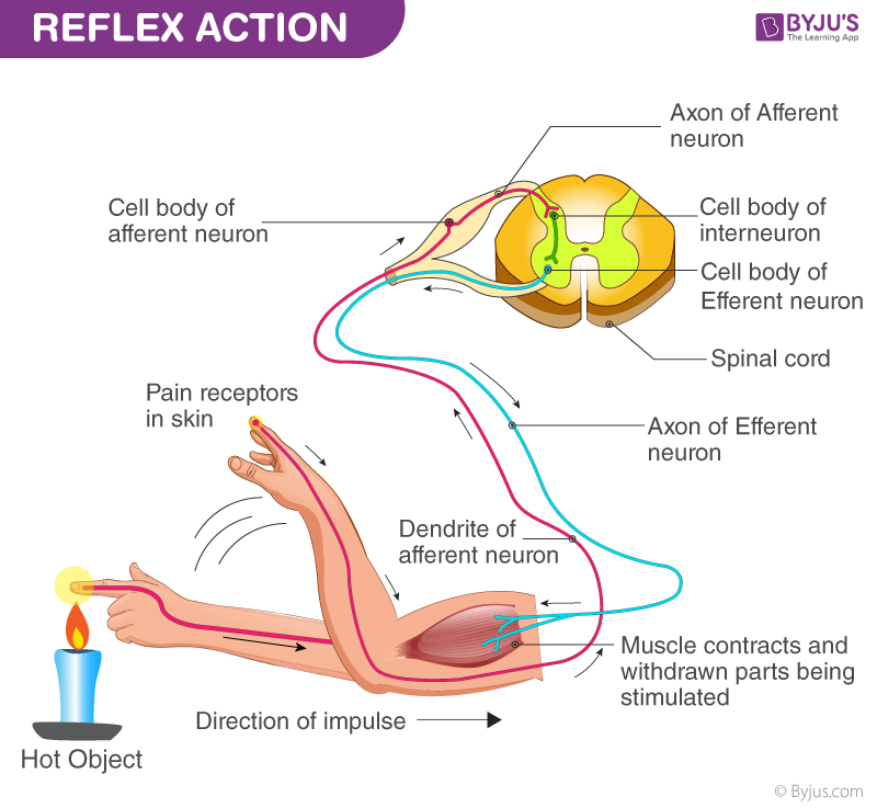 reflex arc diagram yardman mower deck belt action is explained in detail discover what happens during a reaction triggered by this instinct at times we have no prior knowledge whether the pan hot or not nowhere has little to do with
